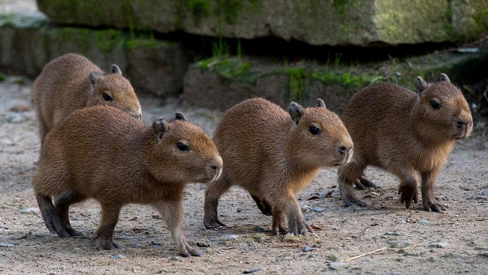 Junge Wasserschweine im Zoo Hannover