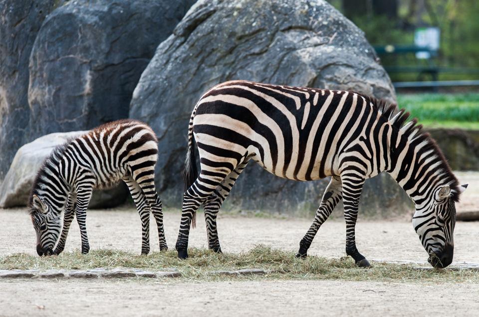Zebranachwuchs im Berliner Zoo