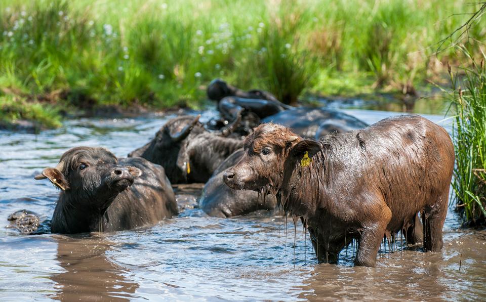 Wasserbüffel auf der Pfaueninsel